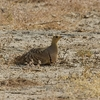 Sandgrouse Male