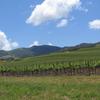 Vineyard In The Santa Ynez Valley