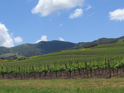 Vineyard In The Santa  Ynez  Valley