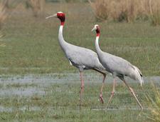 Sarus Crane At Sultanpur National Park