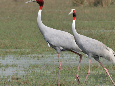 Sarus Crane At Sultanpur National Park