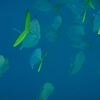 School Of Yellow-Tail Fishes