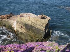 Sea Lions At The La Jolla Cove