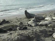 Seals At Carmel River Beach