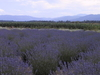 Sequim  W A  Lavender  Farm