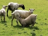 Sheep At Killearn - Scotland
