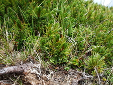 Siberian Dwarf Pines At The Top Of Mount Iō