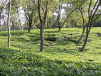 Silchar Tea Garden Tours