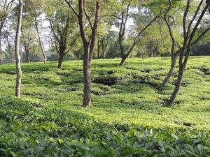 Silchar Tea Garden Tours