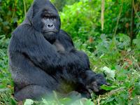 Gorilla, Chimps and Big Game Combo
