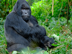 Gorilla, Chimps and Big Game Combo