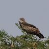 Snake Eagle Velavadar National Park