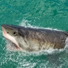 South Africa Coastline SA - Great White Shark
