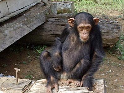 South  Djoum  Chimp