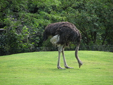 Southern Ostrich