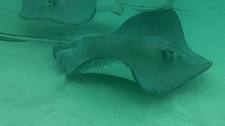 Southern Stingrays At Stingray City Grand Cayman