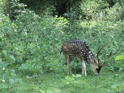 Spotted Deer At Parambikulam
