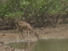 Spotted Deer (Chital) At Guindy National Park