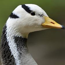 SSBS - Bar-Headed Goose