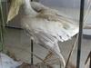 Pelicans In The Museum