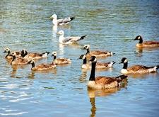 Sugarhouse Park Canadian Geese - Salt Lake City UT