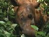 Sumatran Rhino In The Way Kambas Sanctuary