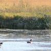 Ducks And Egret