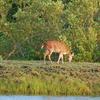 Sundarbans Deer
