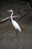 Sundarbans Great Egret