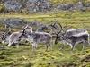 Svalbard Reindeer Herd