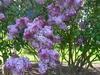 Lilac In Kew Gardens