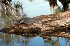 Salt Water Crocodile In Kakadu