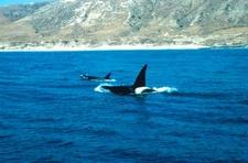 Orcas At Santa Rosa Island