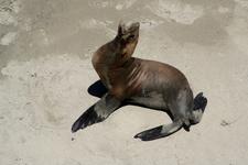 Seal At Santa Rosa Island