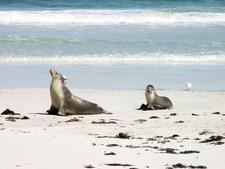 Sea Lion And Pup In Seal Bay Kangaroo Island