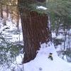 Sheldrick Forest White Pine