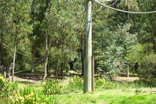 Siamang At Taronga Western Plains Zoo