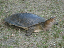 Snout-Nosed Turtle