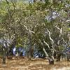 California Oak Woodland