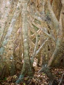 Strangler Tooloom National Park