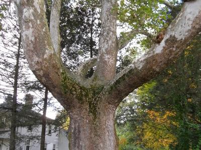 Buttonball Tree