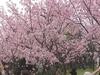 Taiwan  Cherry  Blossom