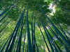 Tall Bamboo Stock
