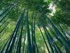 Tall Bamboo Stock