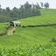 Tea Plantation - Bushenyi