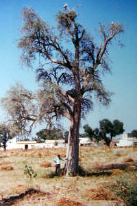 Tecomella Undulata Tree In Harsawa Village