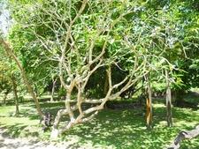 Temple Tree