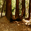 Ten Taypo Trail Big Redwoods