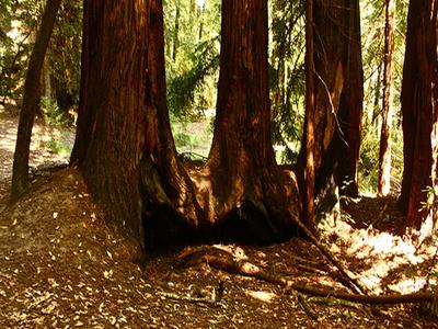 Ten Taypo Trail Big Redwoods