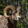 The Bighorn Sheep Is Alberta's Provincial Animal